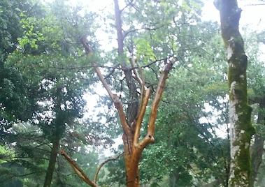 サルスベリの木 UP