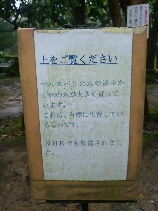 サルスベリの木 説明